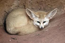 Articolo naturalistico meteowebcam for Dove vive la volpe