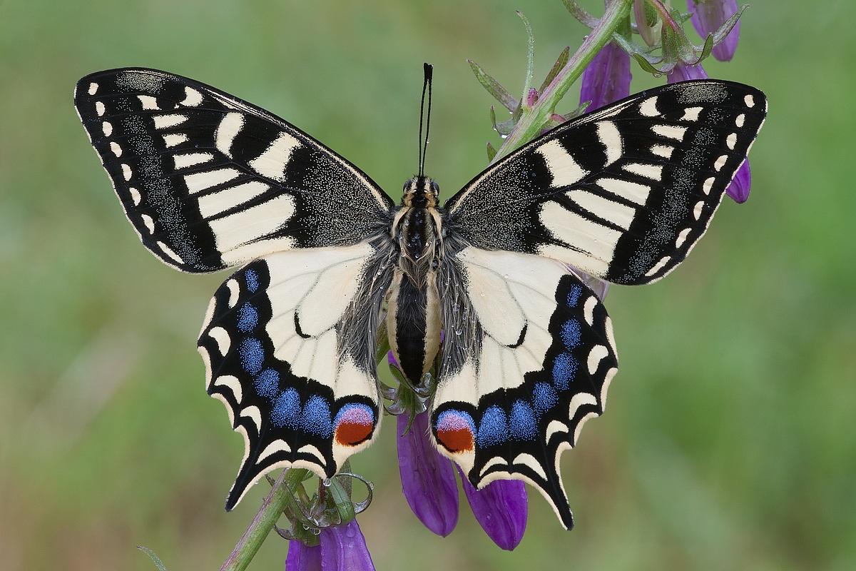 Farfalle macaone facili da allevare meteowebcam for Foto farfalle colorate