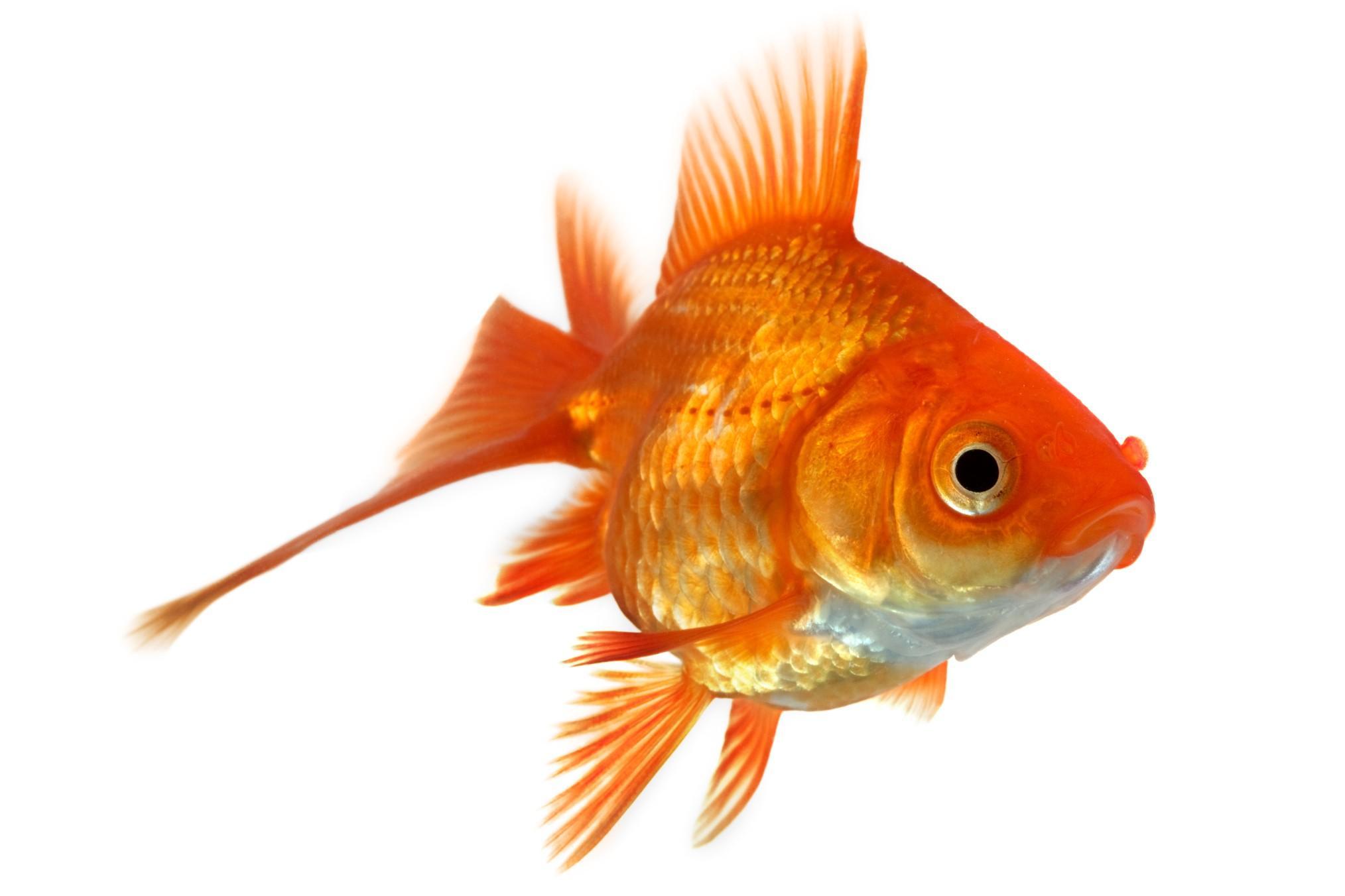 Articolo naturalistico meteowebcam for Quanto vive un pesce rosso